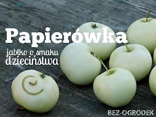 dojrzałe jabłka papierówki