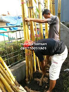 JUAL POHON BAMBU KUNING PANDA | ANEKA TANAMAN PAGAR HIDUP | JASA TUKANG TAMAN