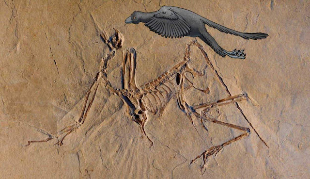 'Archaeopteryx' Dinosaur Had a Completely Unknown Way of Flying