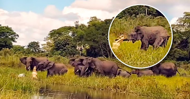 Cocodrilo intenta comerse a elefante y otro lo salva