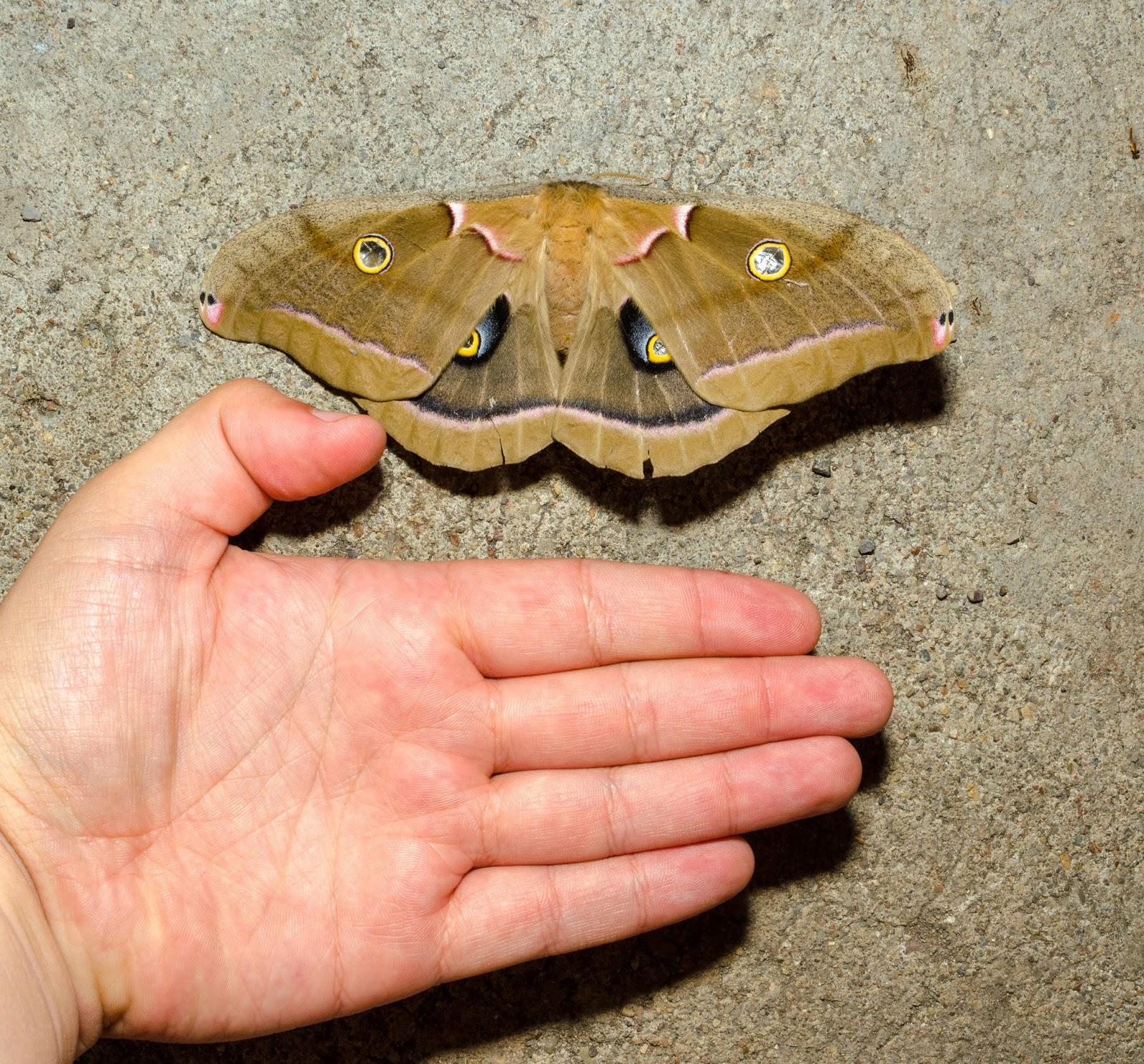 Polyphemus Moth (Antheraea polyphemus) Ohio