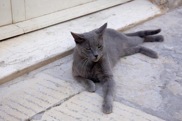 chorwackie koty