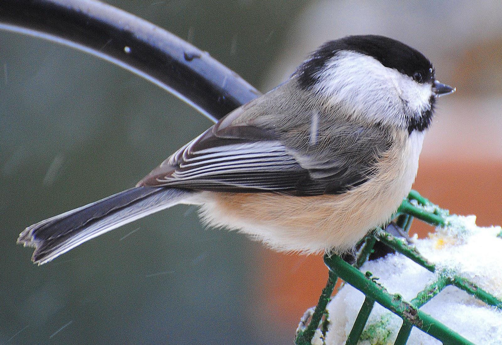 BARRY the BIRDER: Great Backyard Bird Count ~ 18 species