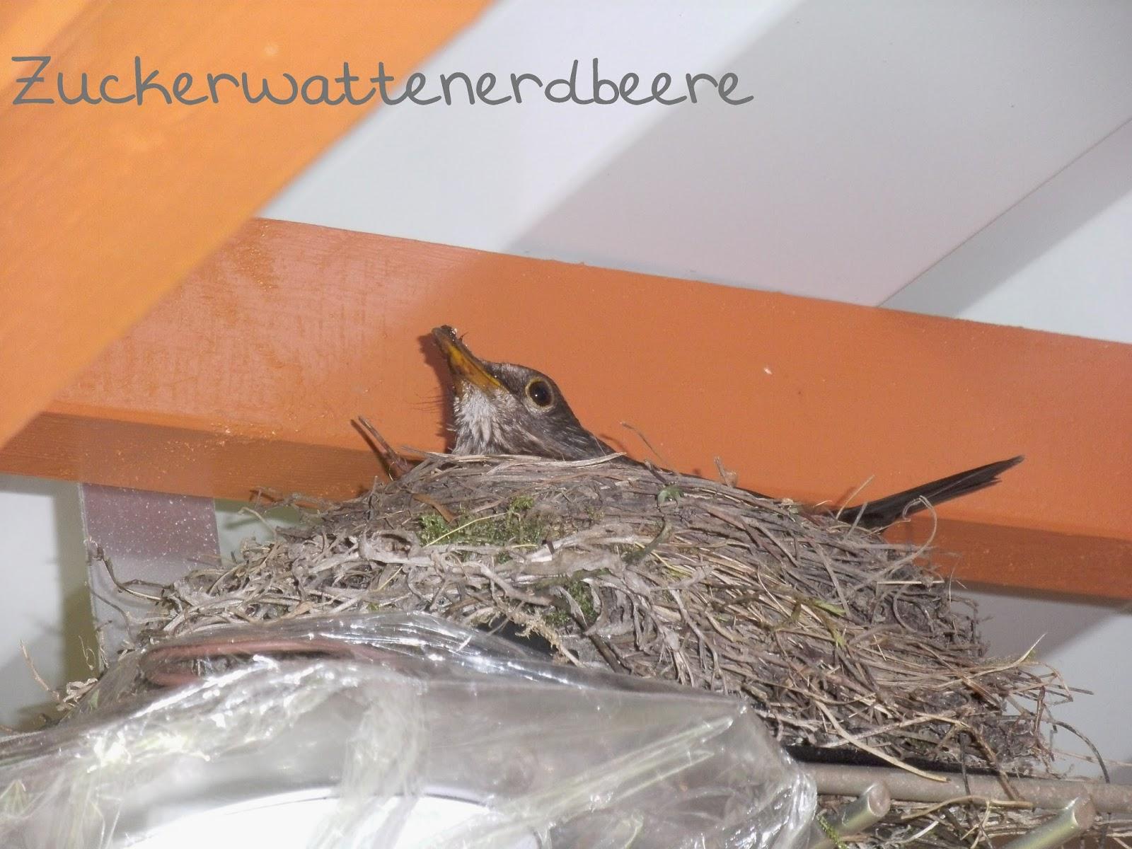 zuckerwattenerdbeere unser vogel unterm dach. Black Bedroom Furniture Sets. Home Design Ideas