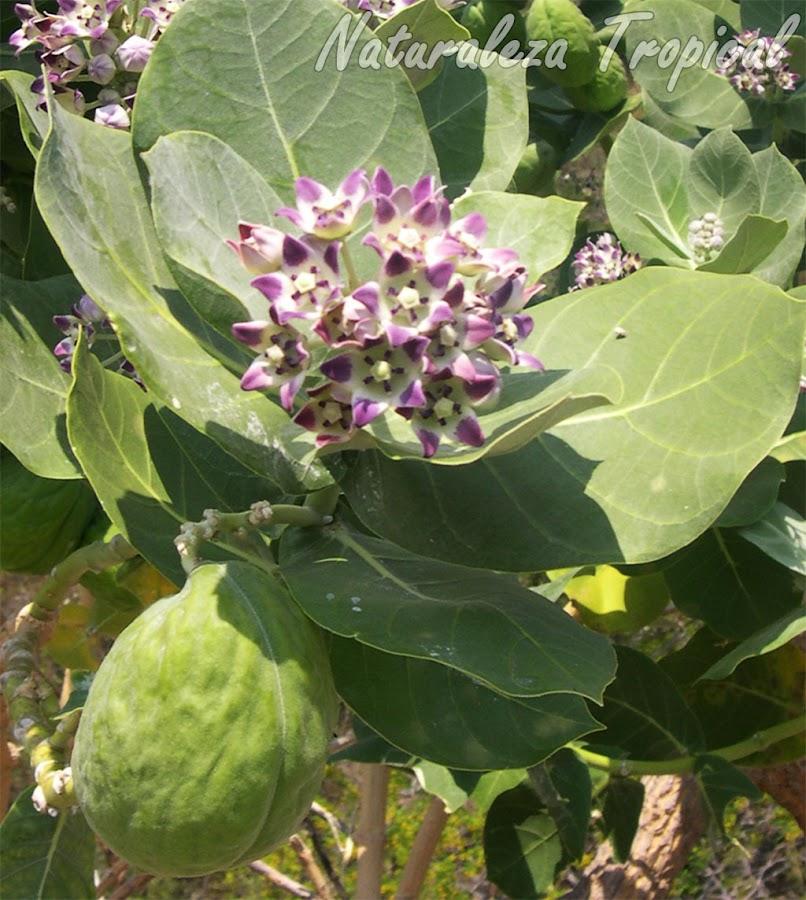 Flores y frutos de la planta Algodón de Seda, Calotropis procera