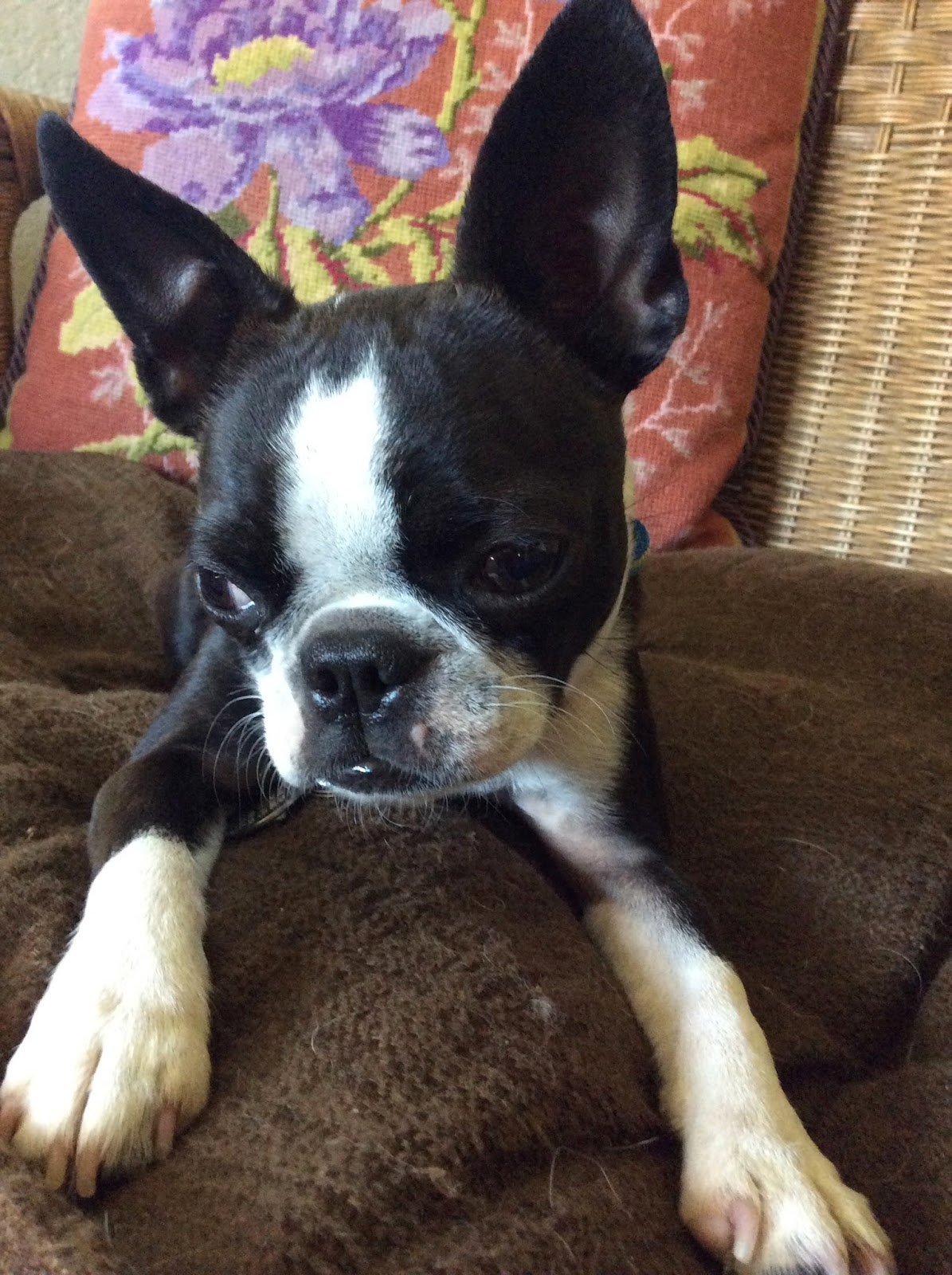 Sinead the Boston terrier on her couch