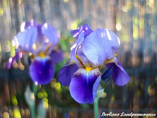 Schwertlilie: Garten im Mai