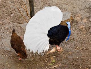 Budidaya Ayam Sempidan Biru Kalimantan