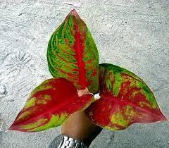 Aglaomea Red Krakatau