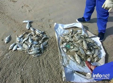 Đà Nẵng: Cá chết hàng loạt, trôi dạt vào bãi biển du lịch Xuân Thiều ảnh 2