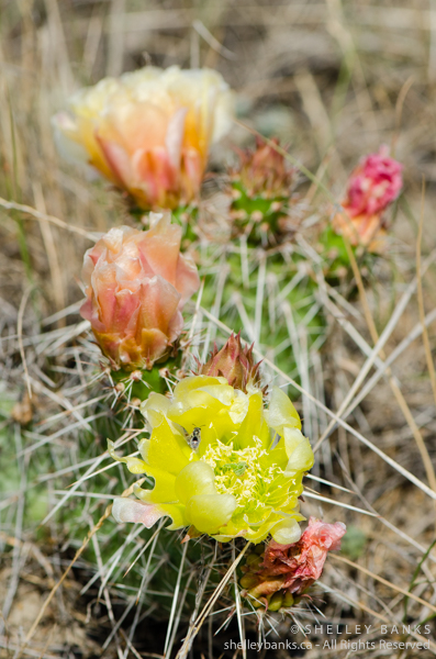 Prickly Pear Cactus. Copyright © Shelley Banks, all rights reserved