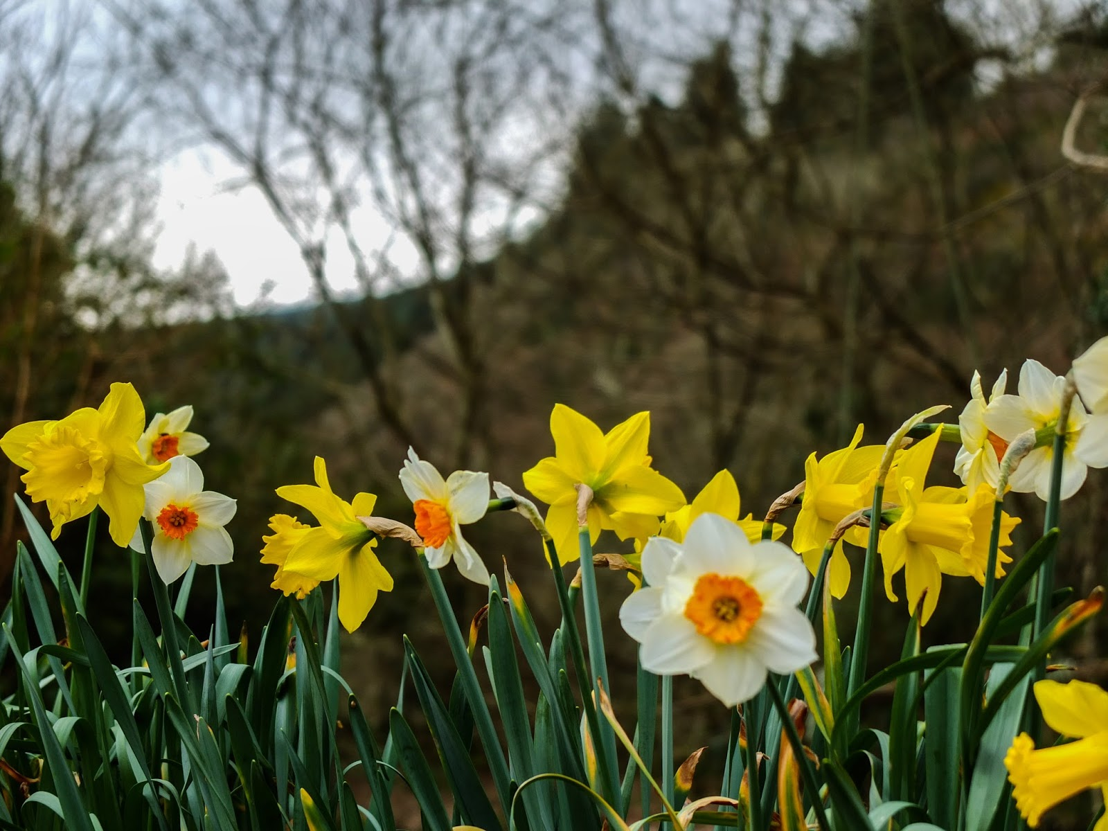Daffodils pictured with forestry and mountains in the background.