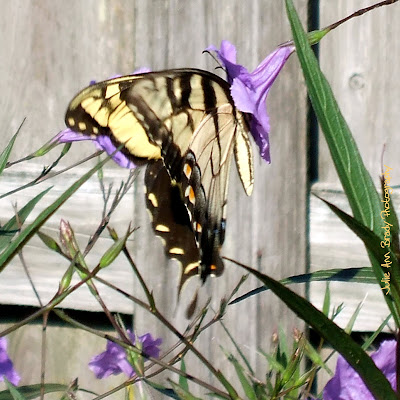 Eastern Tiger Swallowtail Butterfly - Jacksonville, Florida