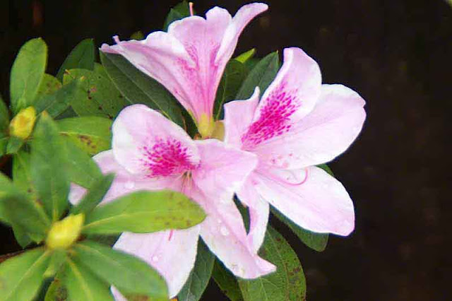 rock, black background, pink and white azalea, raindrops