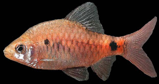 Puntius nigripinnis, western ghat biodiversity, Indian fish, Indian aquatic fauna, indian barb