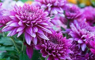 bunga krisan ungu