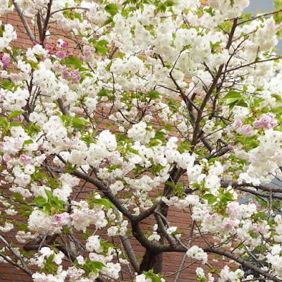 大阪造幣局 桜の通り抜け 雨宿