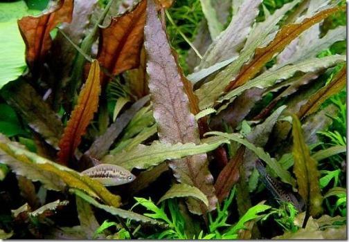 Cây thủy sinh tiêu thảo nâu