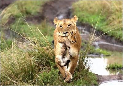 Hembra de león transportando una cría