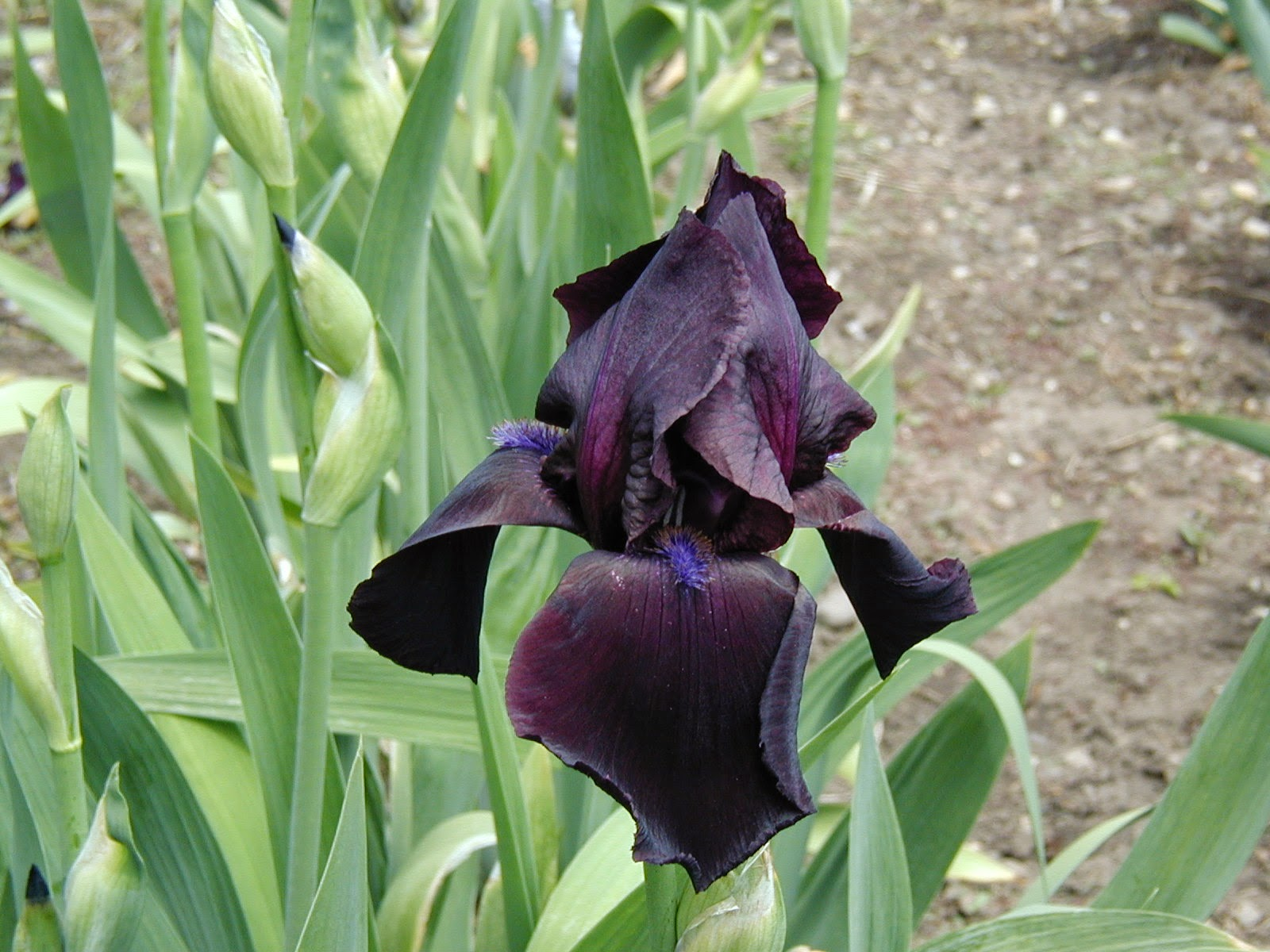 World of irises tall bearded iris my favorite black irises flower and the most black i think others have surpassed it in color since then it won hm 1994 and walther cup in 1994 the am in 1996 izmirmasajfo