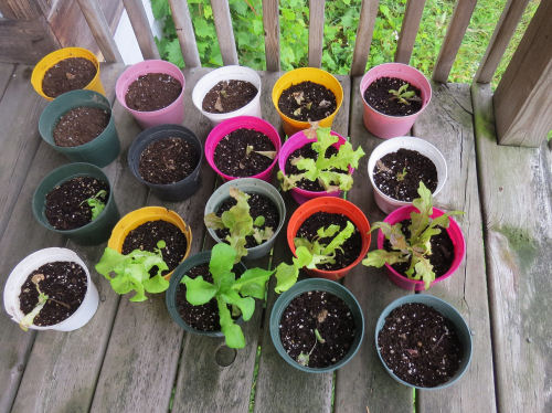 pots of artisan lettuce