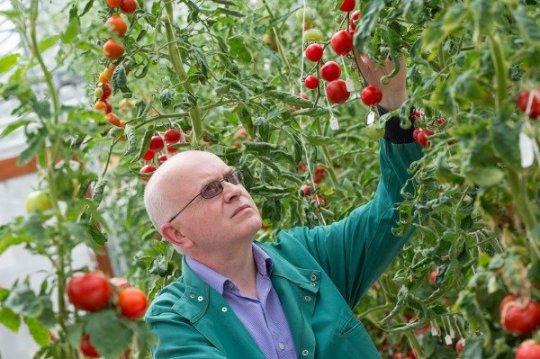 دراسة تتوصل لنوع محسن من الطماطم يعيش لفترة أطول بنفس الطعم والجودة
