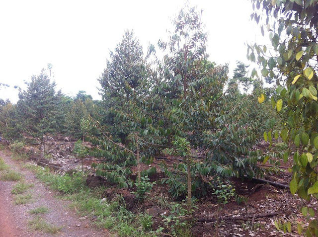 Bán đất vườn cây ăn trái chợ Phú Bình, Long Khánh 02