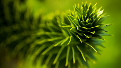 pine leaf close up hd resolution wallpaper