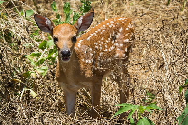 White-tailed Deer Fawn, Hagerman NWR