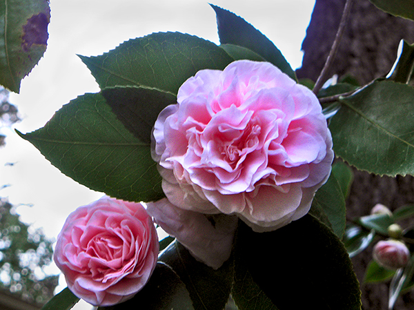 Multiple Camellia Blossoms on Tree