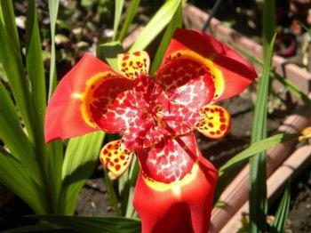 É uma flor fácil de cultivar, preferindo locais com sol ou semi-sombra. A melhor época para plantar é no início da primavera, para florescer com a chegada do verão.