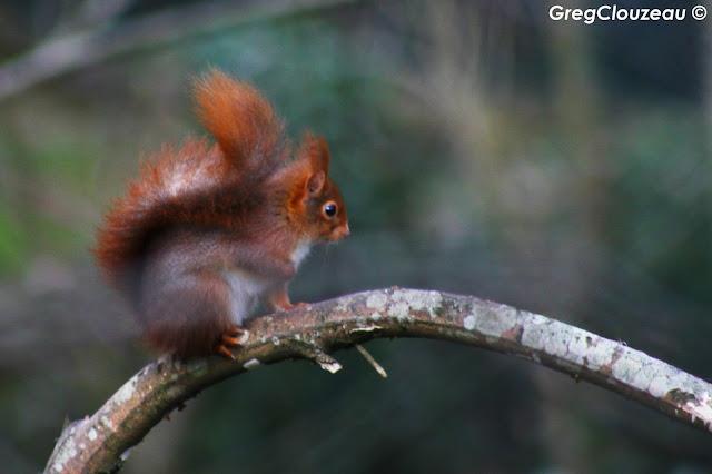 Ecureuil roux (Sciurus vulgaris ) Forêt de Fontainebleau