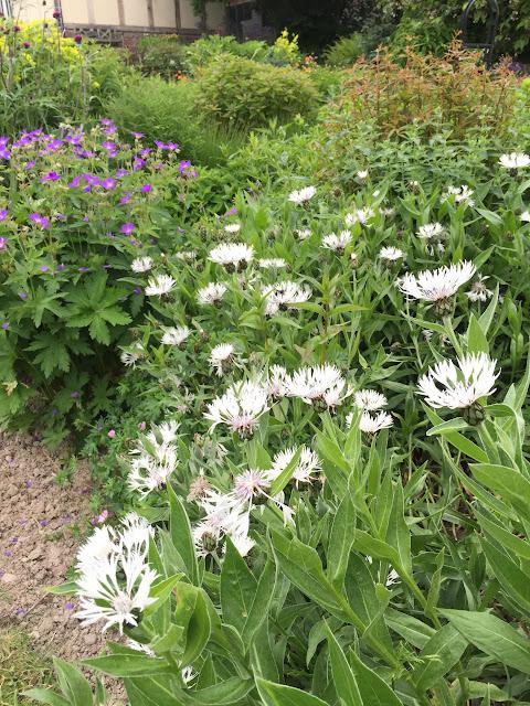 Centaurea Montanan 'Alba' - Perennial Cornflower