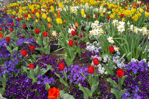 Rainbow Tulip Scenes from Temple Square in Salt Lake City, Utah