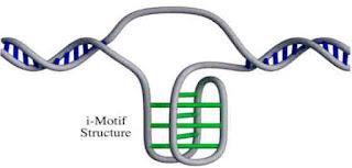 DNA - i-motif é um nó de quatro filamentos
