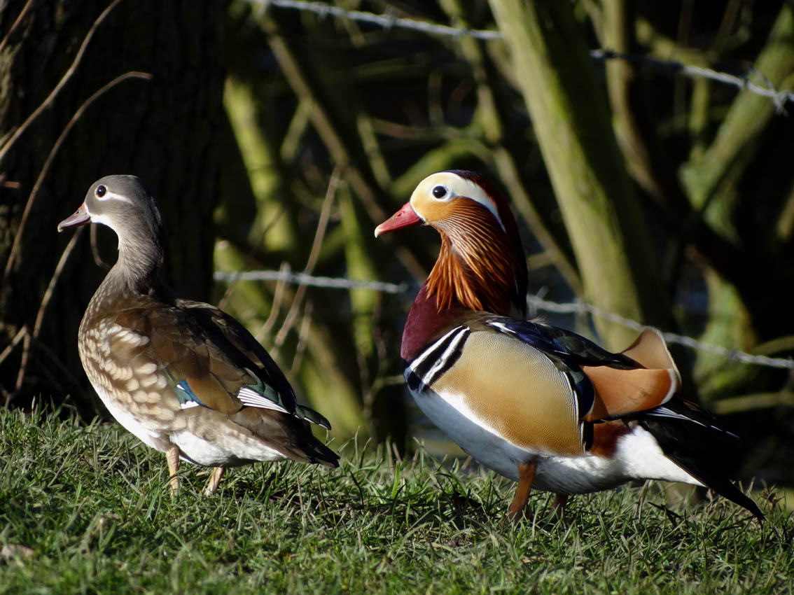 Darley Dale Wildlife Mandarin Ducks