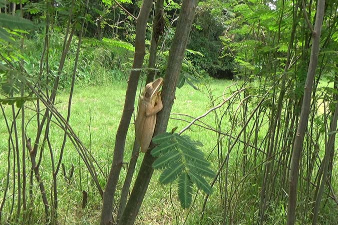 Dlium Common tree frog (Polypedates leucomystax)