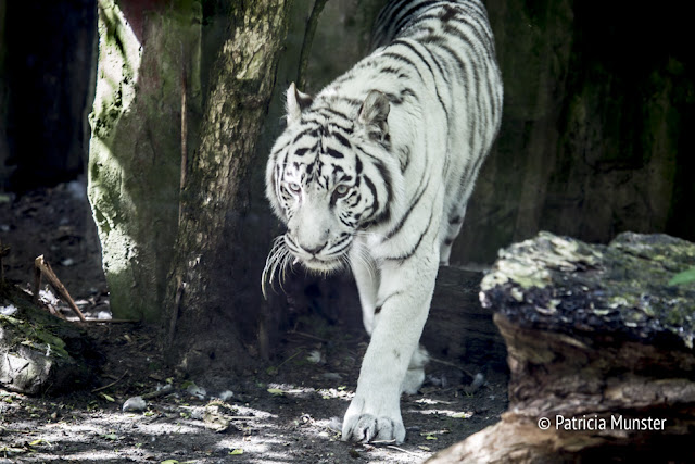 White tiger in Dierenpark Amersfoort - The Netherlands