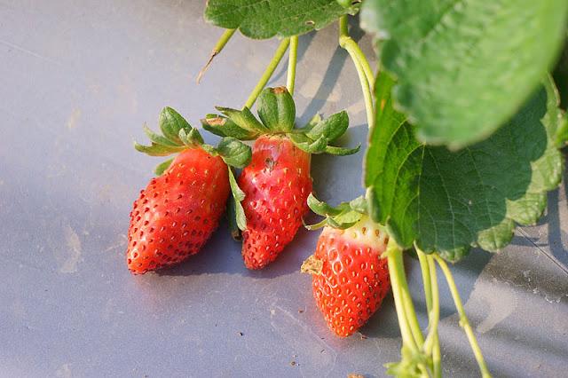 DSC00865 - 台中觀光果園│採草莓不用去大湖,台中草莓世界就在潭子慈濟醫院對面開採囉