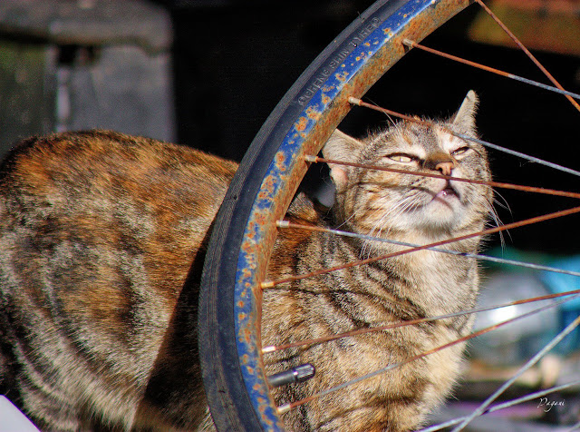 Torbie Cat inspects rusty bicycle wheel