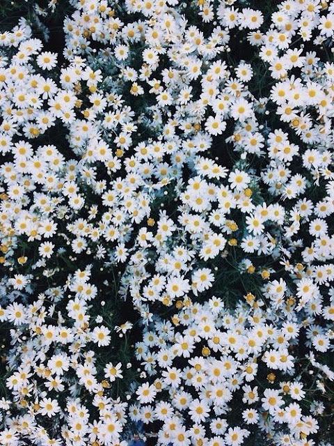 plano de fundo margaridas wallpepers plano de fundo iphone smartfone sansung galex flores tumblr pinterest papel de parede