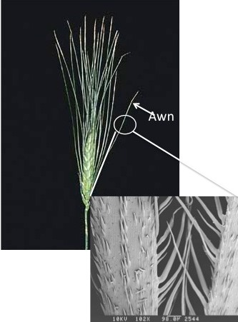 "Botany @ UW: ""Mean seeds"" and their role in grass awn ..."