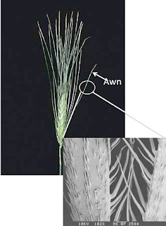 Botany Uw Quot Mean Seeds Quot And Their Role In Grass Awn