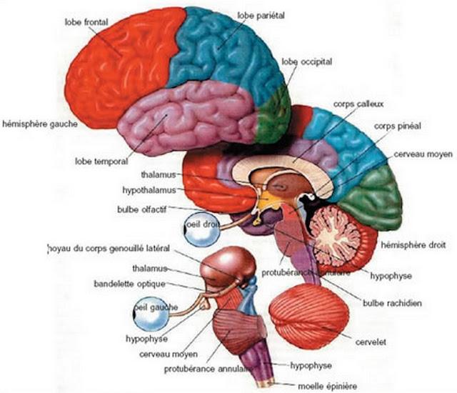 Anatomie du système nerveux central - ORAN ~ COURS de la pharmacie