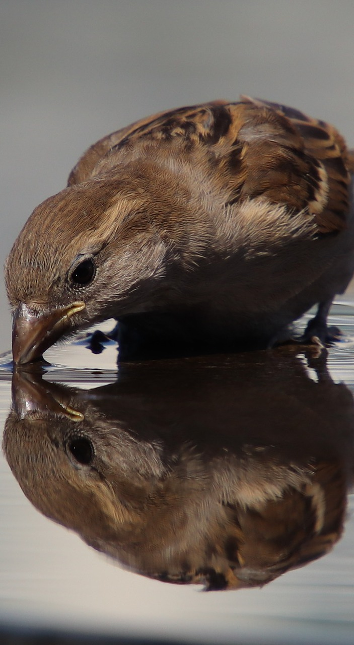 A sparrow drinking water.