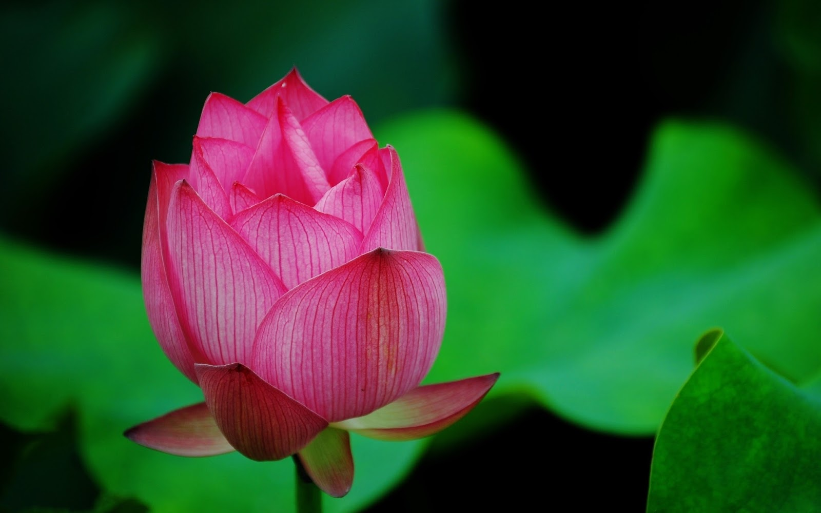 Beautiful Lotus Flower Hd Wallpapers And Background Free Downloads