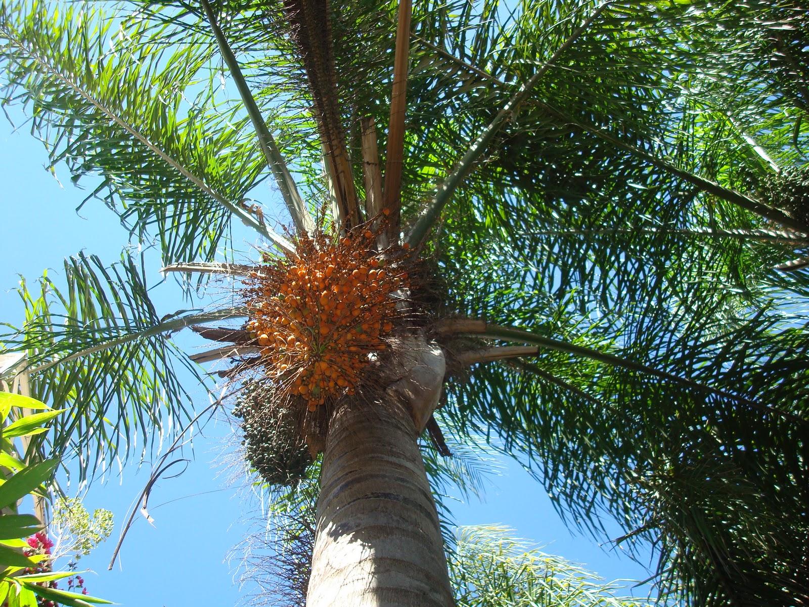 sancarlosfortin fruto datilero de la palma de coco plumoso en el jardin de marilu en zapopan. Black Bedroom Furniture Sets. Home Design Ideas