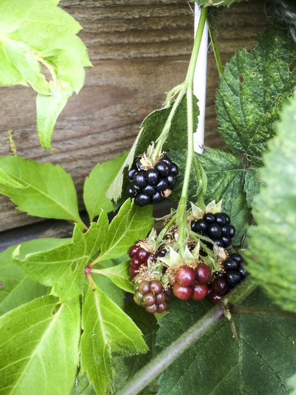 björnbär, blackberries