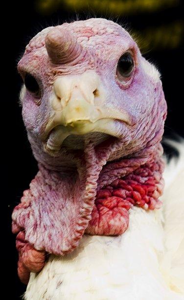 http://4.bp.blogspot.com/-RkMbJUwm-0Q/Ts1NDSYLC9I/AAAAAAAAIAU/46mA7XBYAZc/s1600/Thanksgiving%2Bturkey%2Bpardoning%2B2011%2B%2B%2B%2B2.jpg