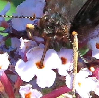 Proboscis of a Red Admiral plunged into the centre of a buddleia flower.